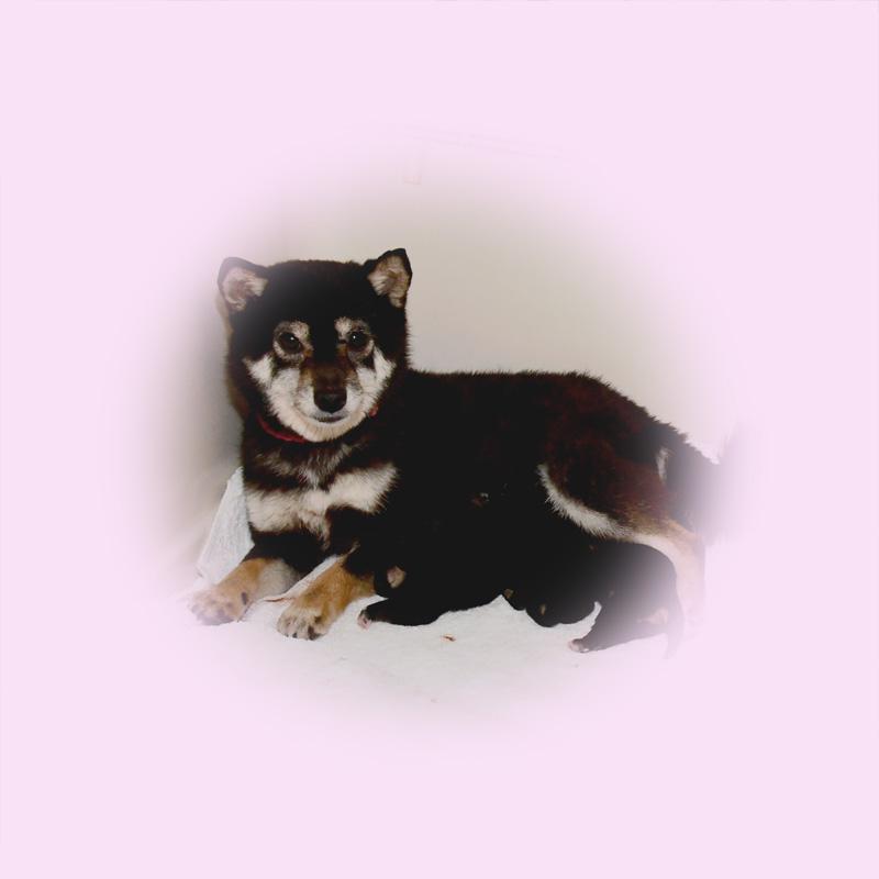 極小豆柴母犬 ナイルちゃん