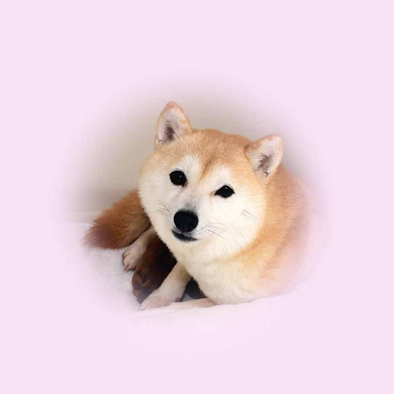 極小豆柴母犬 スイレンちゃん