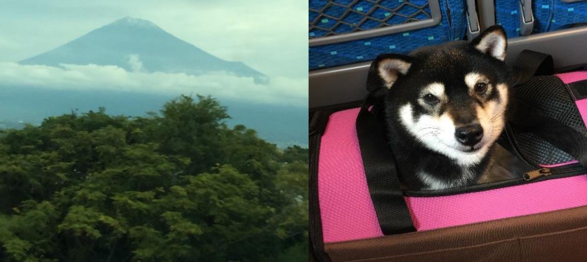 愛知県の豆柴犬アムロくん