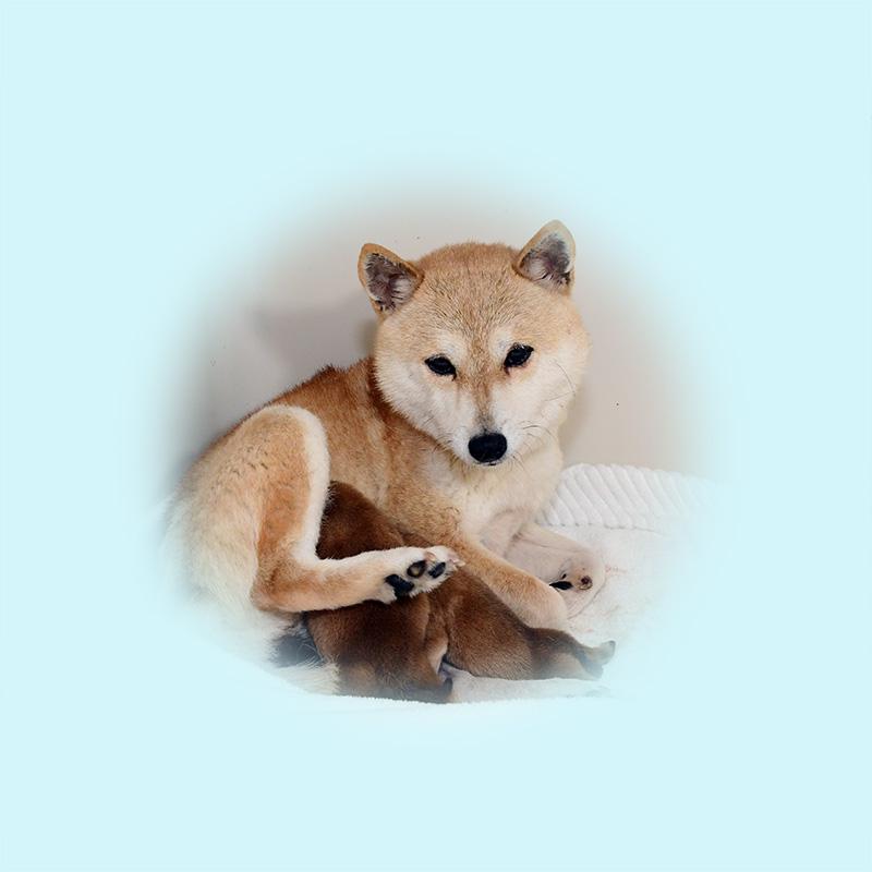 極小豆柴母犬 セナちゃん