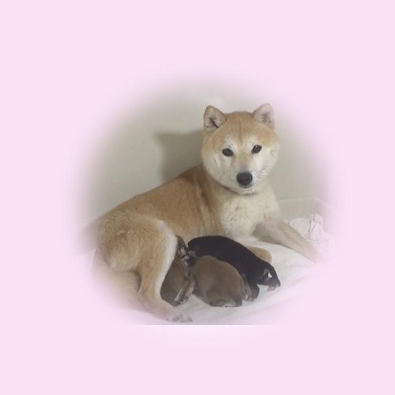 極小豆柴母犬 ミネオラちゃん