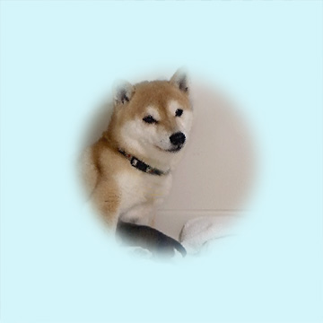 極小豆柴母犬 オクラちゃん