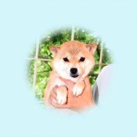 令和3年 5月11日 極小豆柴 エナちゃんが黒♂を出産