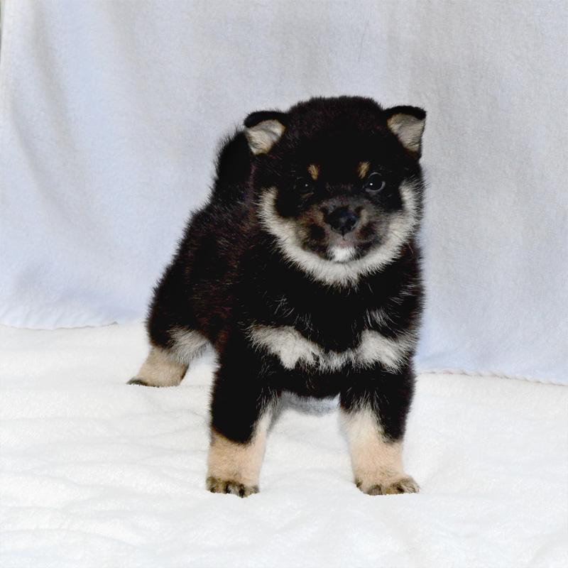 極小豆柴母犬 子犬