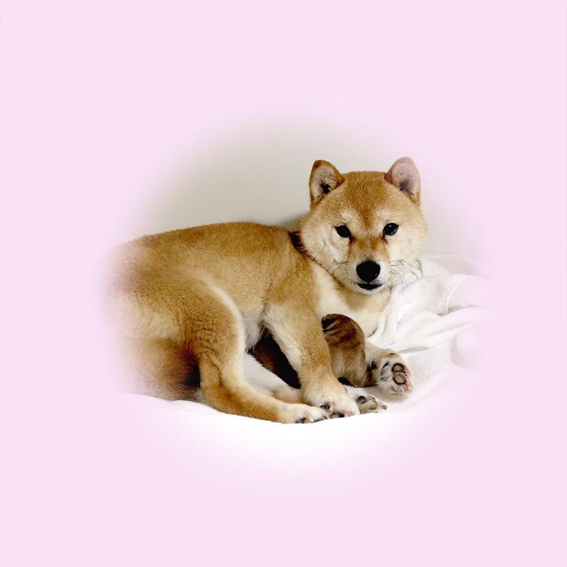 極小豆柴母犬 タマゴちゃん