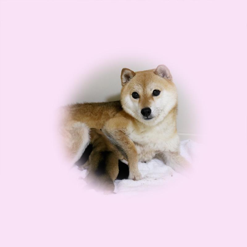 極小豆柴母犬 チハルちゃん