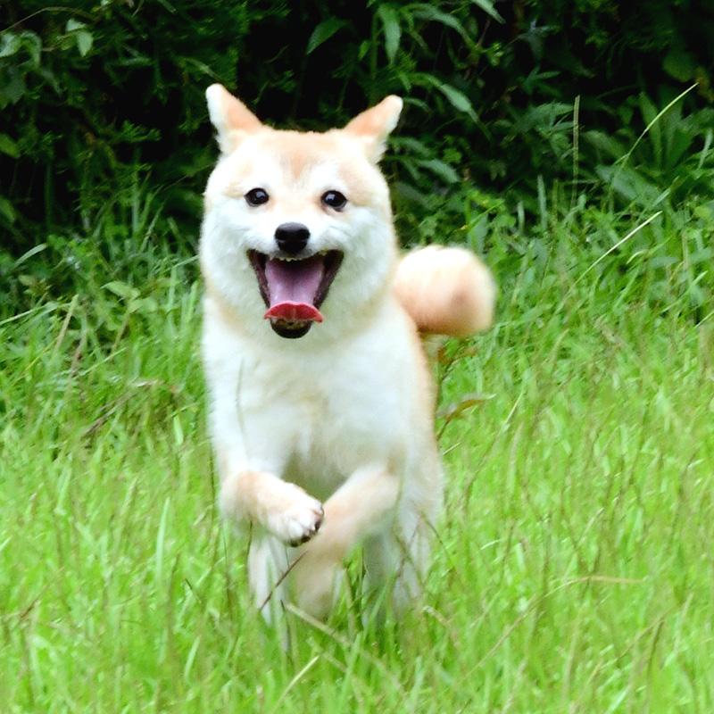 社会性訓育済み成犬 FP-081