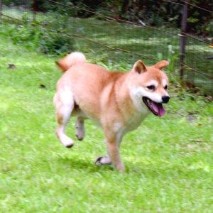 社会性訓育済み成犬 FP-084