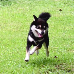 訓練済犬 TR-016