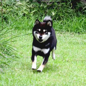 訓練済犬 TR-017