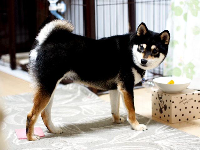 静岡県の豆柴犬 小鉄くん