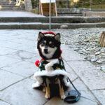 静岡県の豆柴犬 冬輝くん