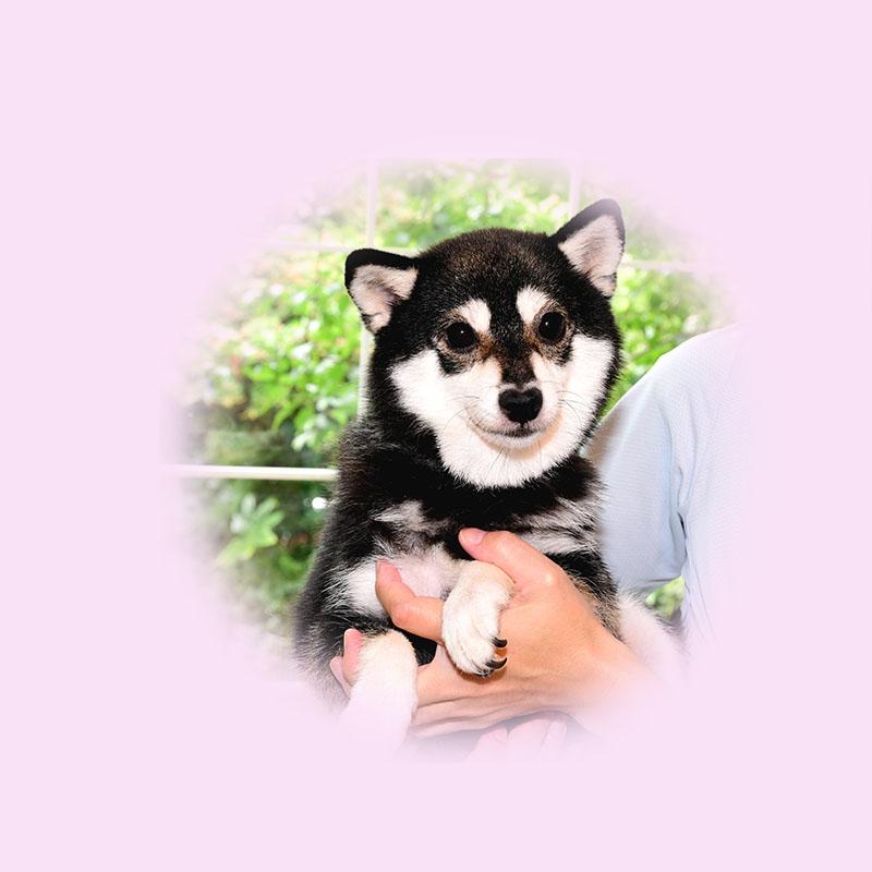 極小豆柴母犬 チロちゃん