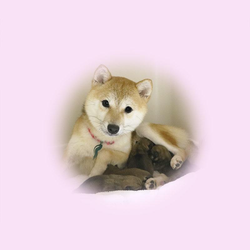 極小豆柴母犬 ヤエちゃん