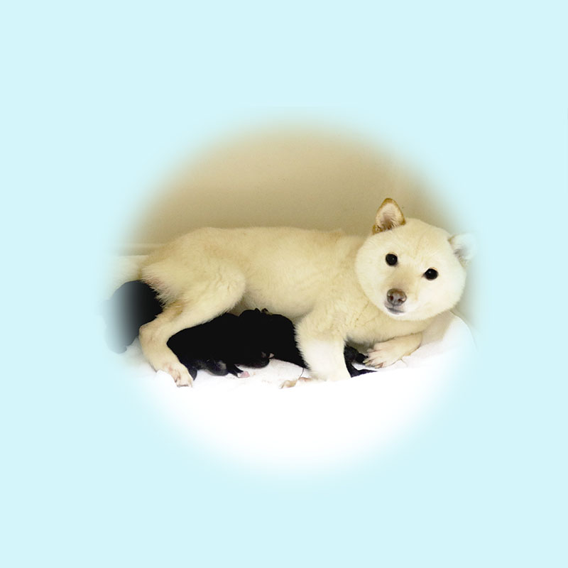 豆柴母犬 モワカちゃん