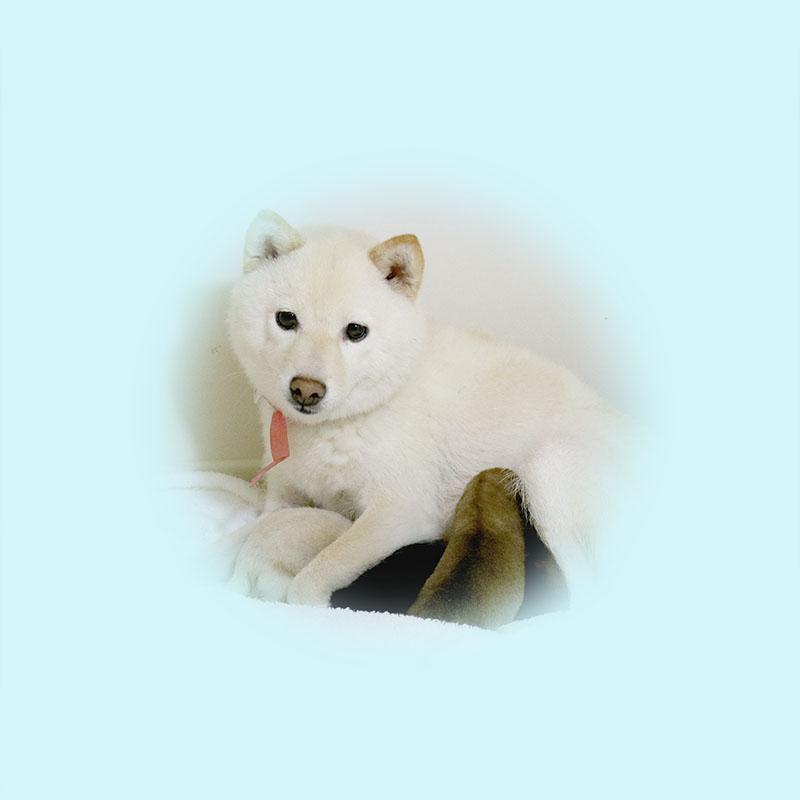 極小豆柴母犬 ウタエちゃん