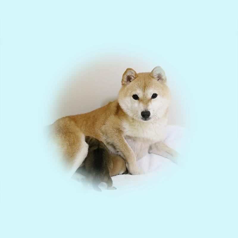 極小豆柴母犬 ヒマリちゃん