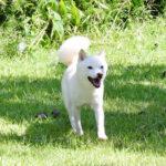 豆柴母犬 キリちゃん
