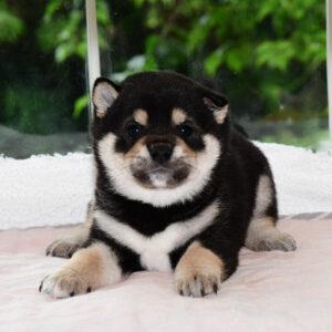 子犬: 母犬 極小豆柴犬