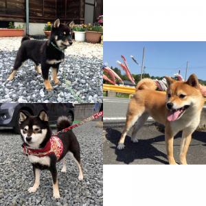 https://www.mame-shiba-inu.com/2019-12-20-20766/v-jiro_yama06/