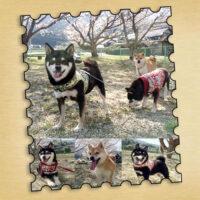 山口県のK様から<4頭目成犬でお迎えのノリコちゃんと3頭目奈々ちゃんと2頭目こころくんと1頭目赤ジローくん>の春のお便り