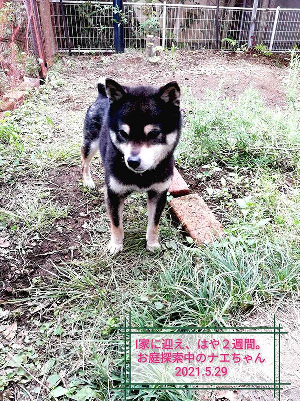 東京の極小豆柴犬のナエちゃん