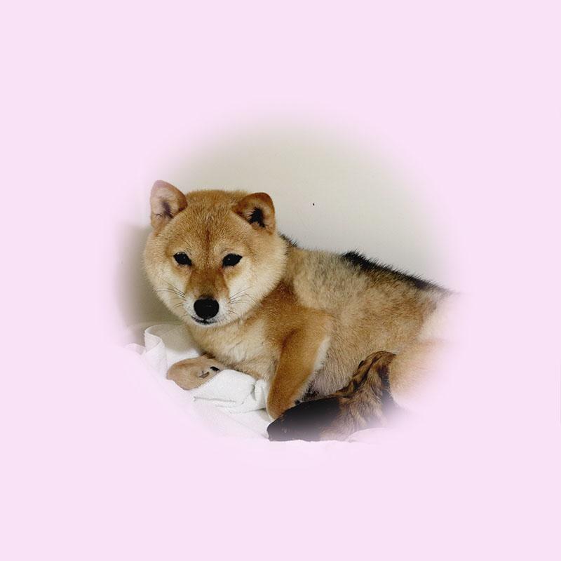 極小豆柴母犬 チアキちゃん