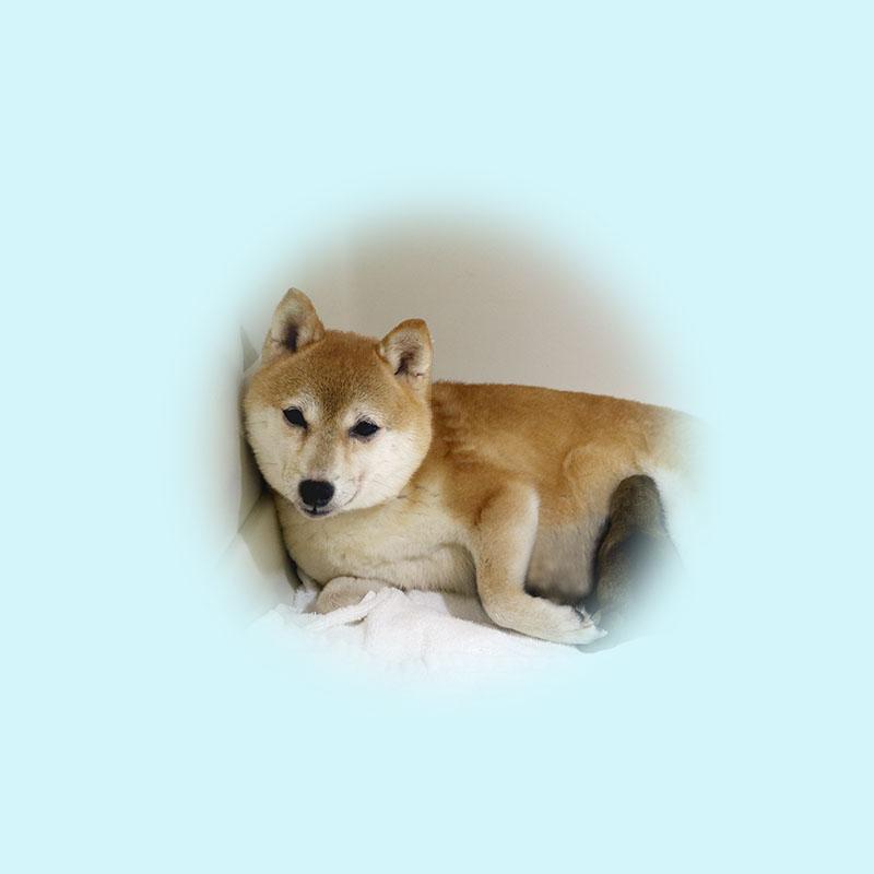 極小豆柴母犬 サヤカちゃん